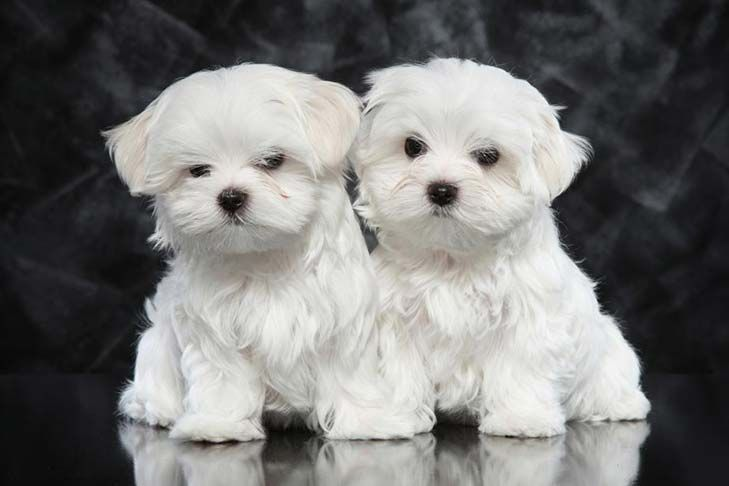 Maltese Puppy For Sale Teacup Puppies 352 Maltese Puppy Teacup Puppies Teacup Puppies Maltese