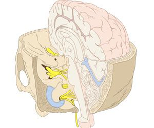 Evolutionary increase in size of the human brain explained?: Inner Earsvg, Inner Ears Svg, Ears Wind, Wikipedia Fileskul