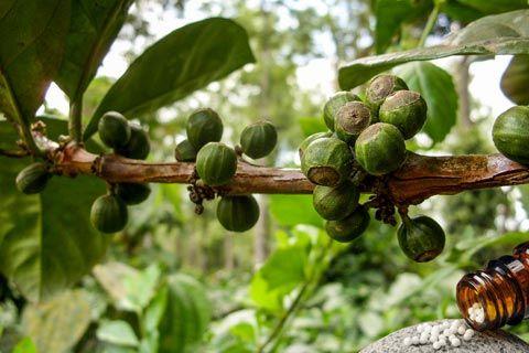 Coffea Globuli: Infos über Anwendung und Wirkung von Coffea in der Homöopathie, wie z.B. Coffea als homöopathisches Mittel in den Potenzen D6, D12, C30 ...
