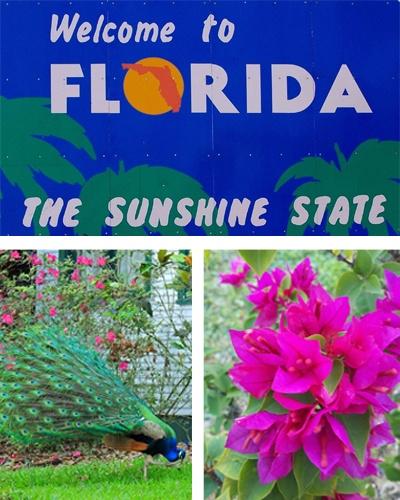 Peacocks - Bougainvilleas - Tourists - Yep its Springtime in Florida!