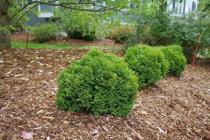 Tiny Tot™ - Arborvitae - Thuja occidentalis