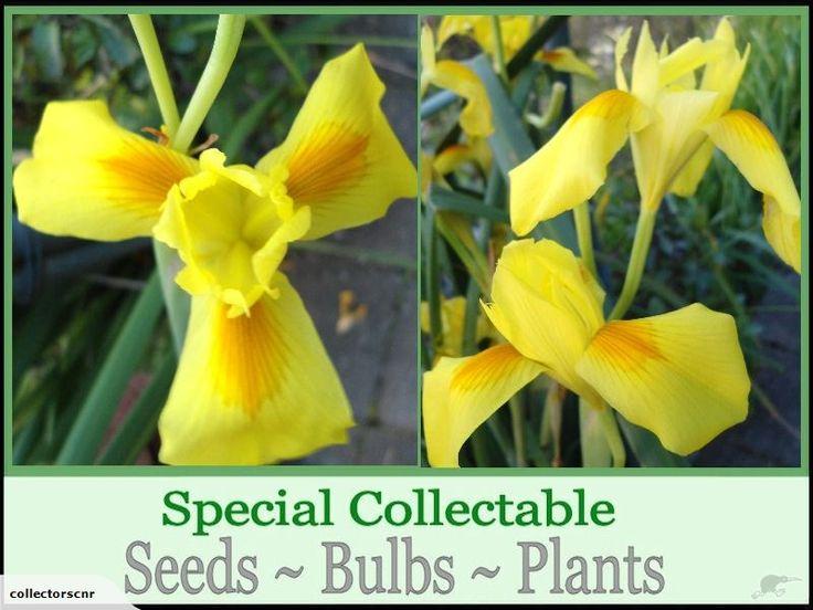 MORAEA SPATHULATA ***Special Rare Seed *** | Trade Me