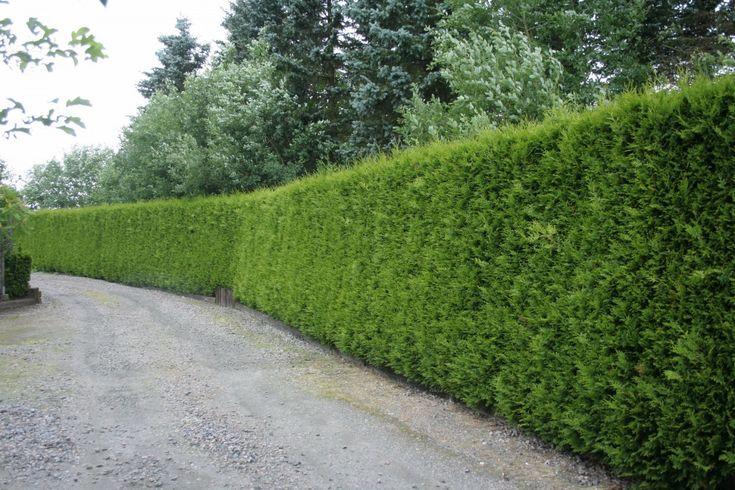 Thuja occidentalis Brabant - Barrväxter - Vintergröna buskar - Växter