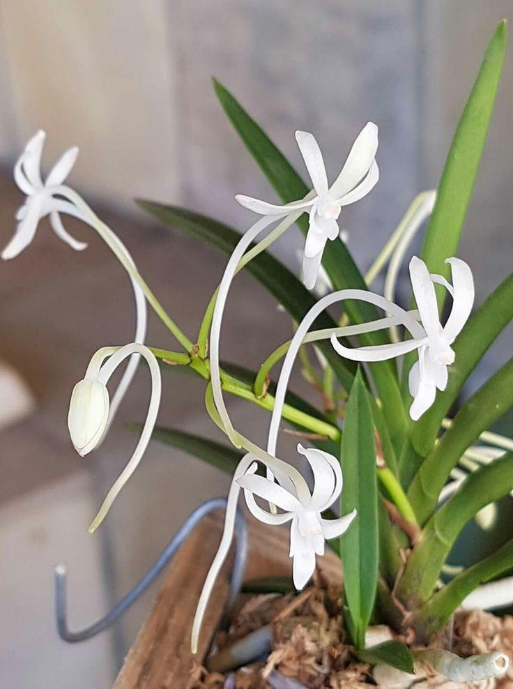 Mini orchid Vanda type