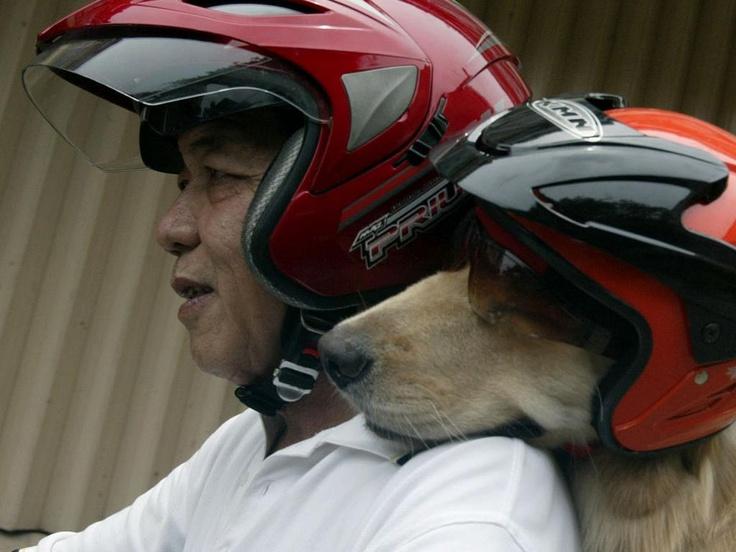 Indonesische hondenliefhebber Handoko Njotokusumo rijdt rond met zijn golden retriever Ace over het eiland Surabaya.