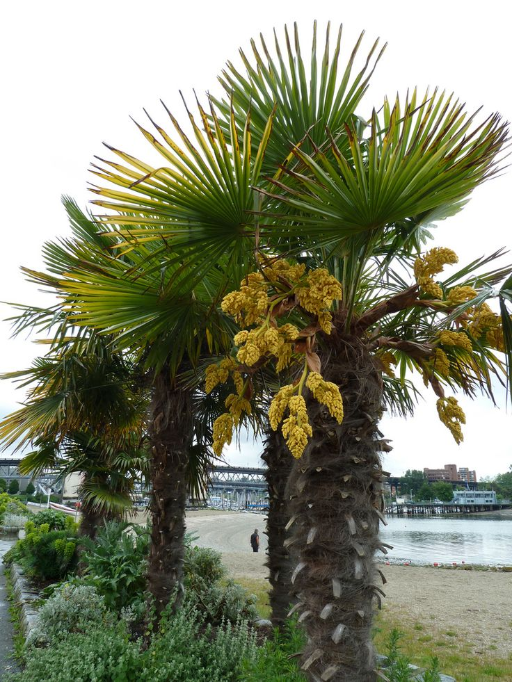 If you are searching for a tropical plant specimen that will lend ambience to your landscape and, yet, is still hardy enough to survive a frigid winter, try windmill palm. Read more here.
