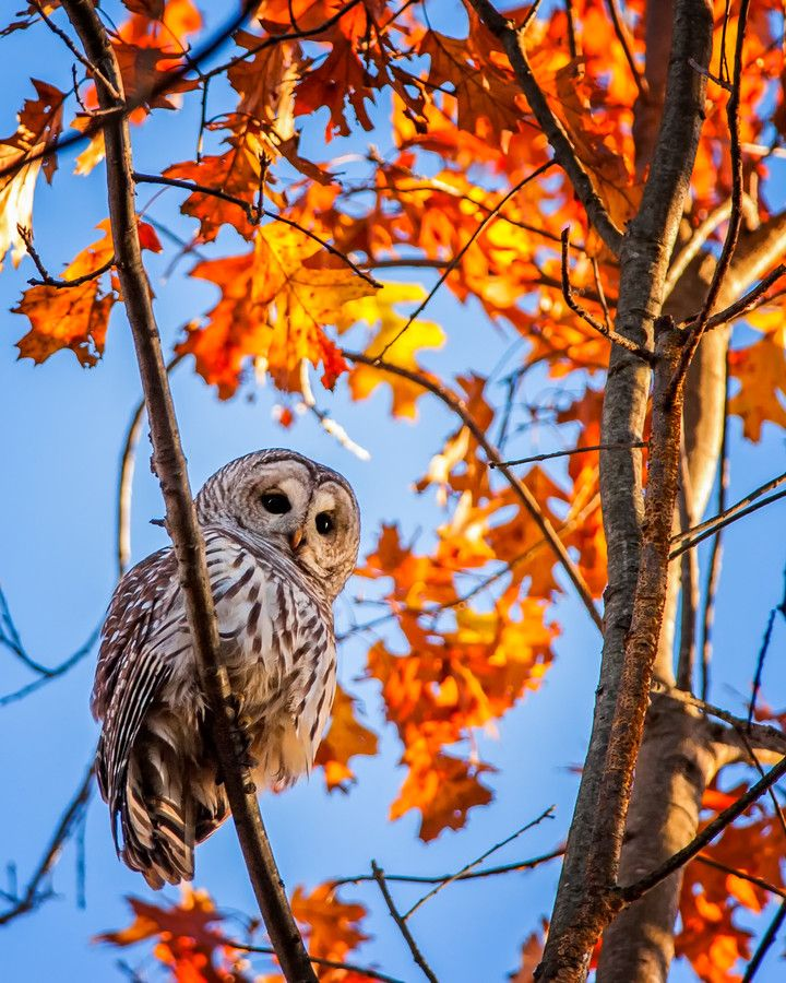 'Backyard Barred' by Michael Whittaker on 500px. Barred owl in autumn foliage with a blue blue sky. Very pretty