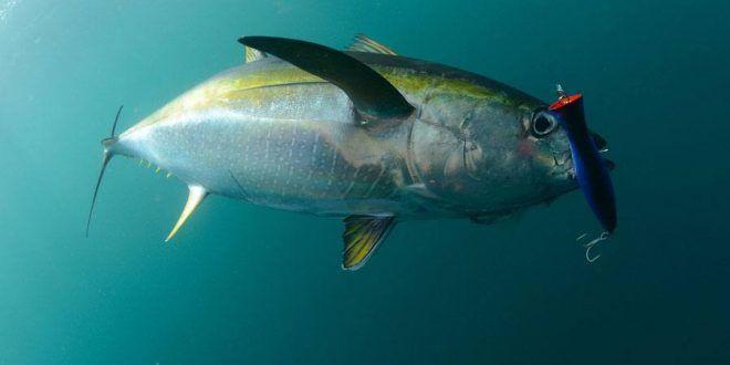 صور سمك التونة رمزيات و خلفيات سمكة التونة ميكساتك Fish Pet Pets Animals