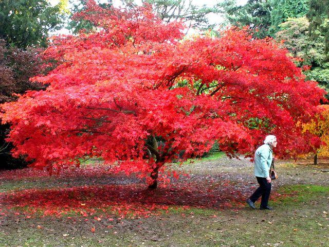 Aconitifolium Japanese Maple Google Search Autumn