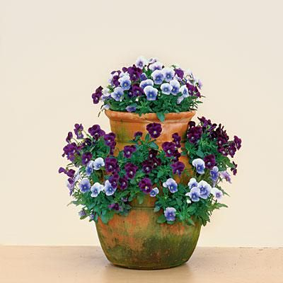 Strawberry Jar Violas | Violas are a beautiful and easy-to-maintain plant for the fall, blooming even longer than pansies. This strawberry jar features a striking combination of 'Sorbet Plum Velvet' and 'Sorbet Icy Blue' violas. | SouthernLiving.com