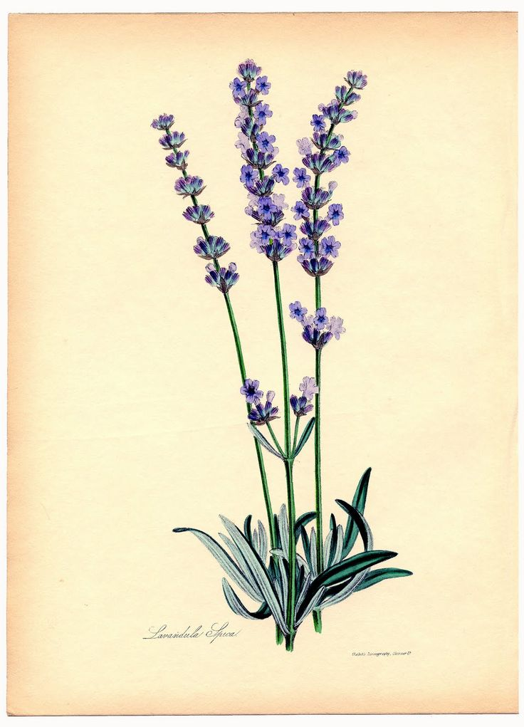 Instant Art Printable - Superb Lavender Botanical - The Graphics Fairy