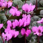 Die besten Schattenblüher. Winterharte Alpenveilchen sind nicht so verbreitet wie Alpenveilchen als Zimmerpflanzen, bereichern aber jeden Garten. Sie gedeihen im lichten Schatten und blühen zuverlässig von September bis weit in den Oktober hinein.