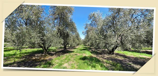 Terramater---trees for the Petralia Olive Oil...one of the most awarded olive oils in the world!
