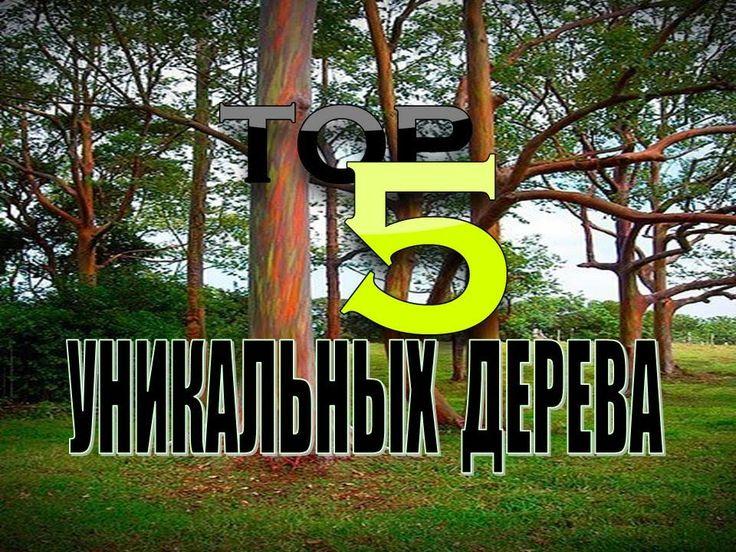ТОР 5 деревьев имеющих необычную природную особенность http://youtu.be/U... #топ, #top, #top_5, #топ_5, #дерева, #названия_деревьев, #баньян, #дерево_баньян, #бенгальский_фикус, #кешью_Пиранжи, #дерево_кеппел, #эвкалипт_радужный, #Copaifera_langsdorffii, #необычное, #самое_необычное_в_мире, #интересные_факты_о_планете_земля,