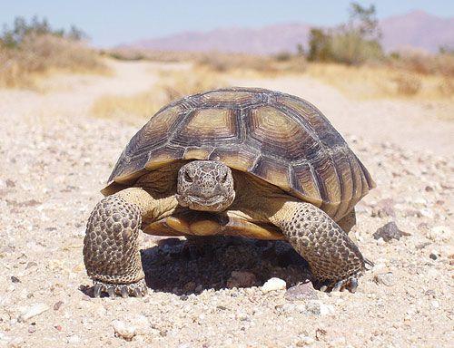 Información sobre la tortuga del desierto 2