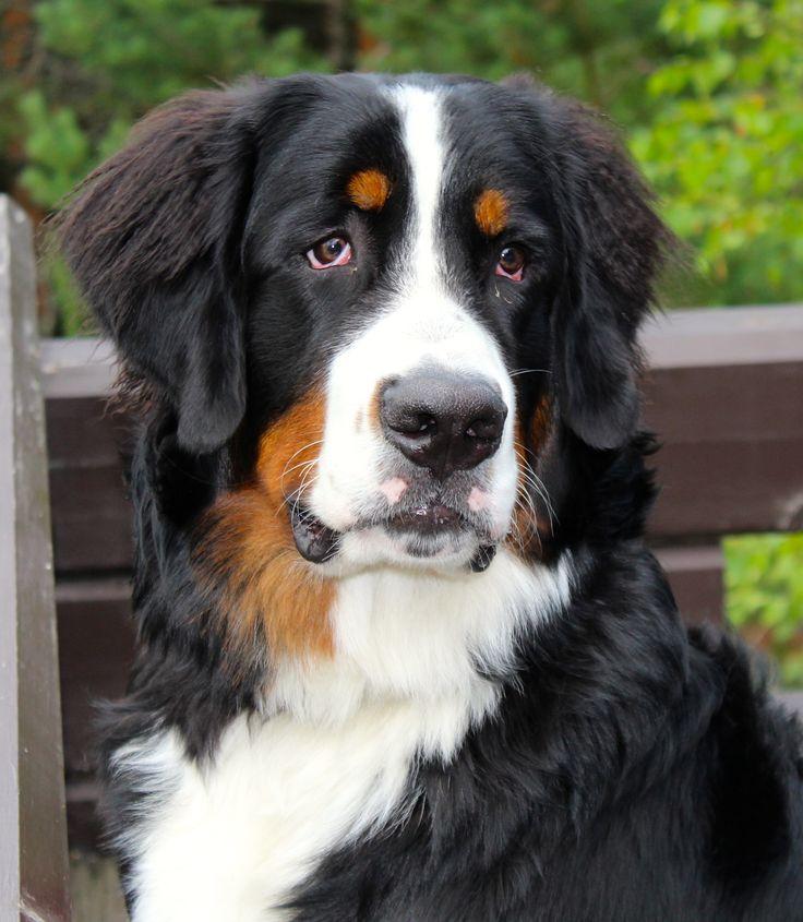 "our Bernese Mountain dog ""Laku"""