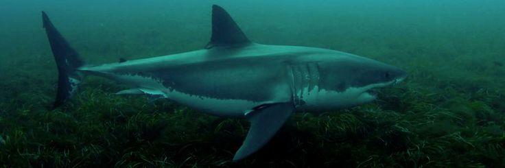Fox Shark Research Foundation - Associative conditioning