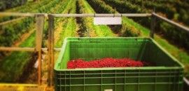 The Westerway Raspberry Farm (TAS) sell berries and jam, direct from their farm each summer via a thriving Farm Gate shop.
