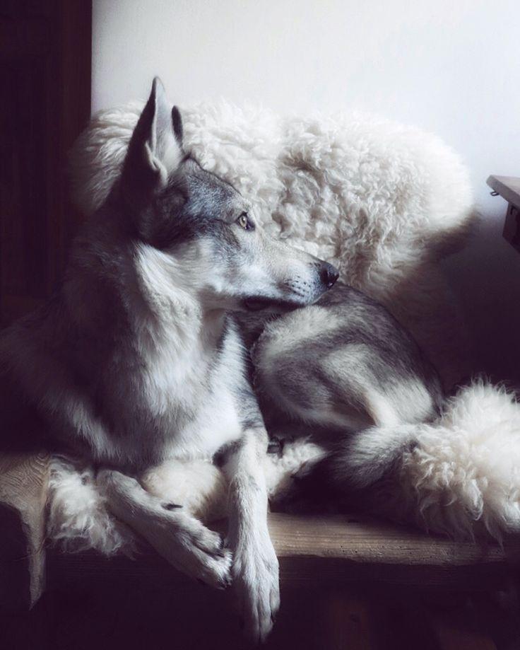 Czechoslovakian Wolfdog Maya @travelwithmaya