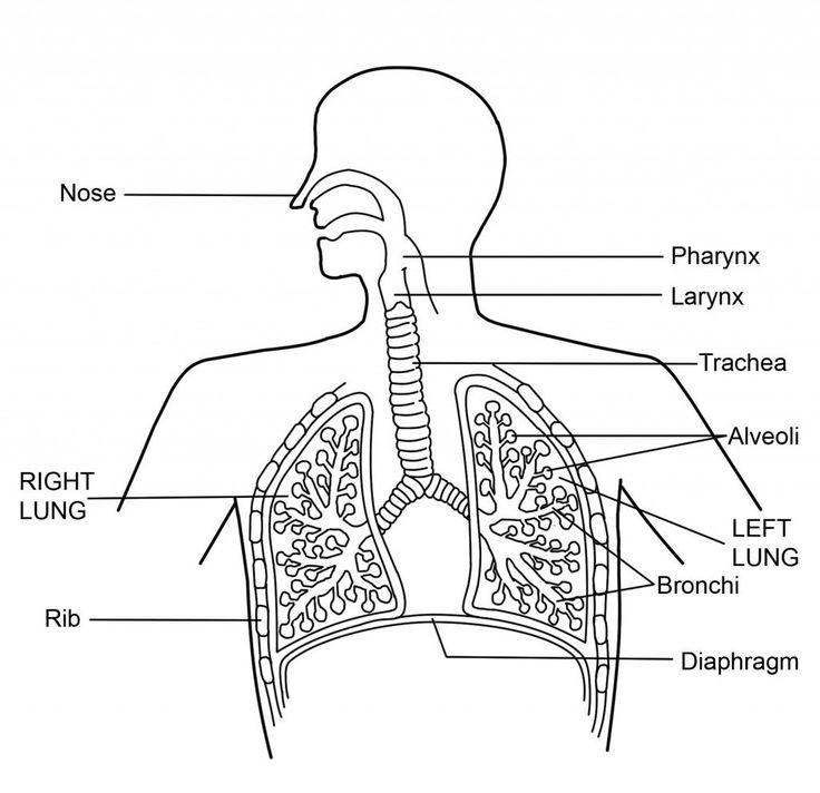 outline human body diagram