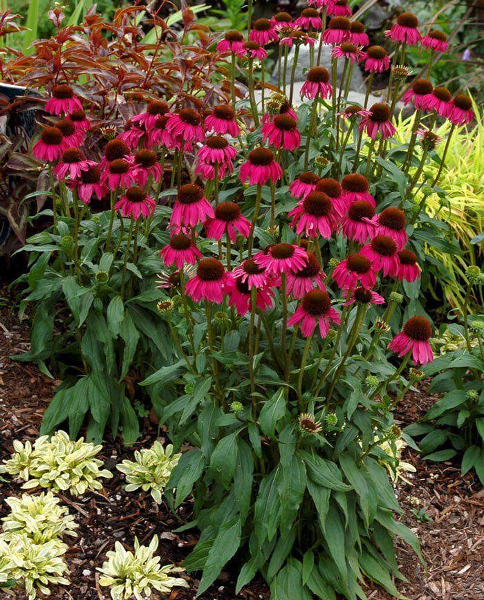 Эхинацея – многолетнее растение со множеством полезных свойств, которое иногда называют «американской ромашкой», так как завезено к нам оно было в семнадцатом веке из Америки.И если раньше существовал...