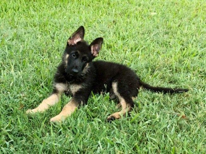 Chet German Shepherd Puppy From The Vhr Ranch In Ledbetter Tx