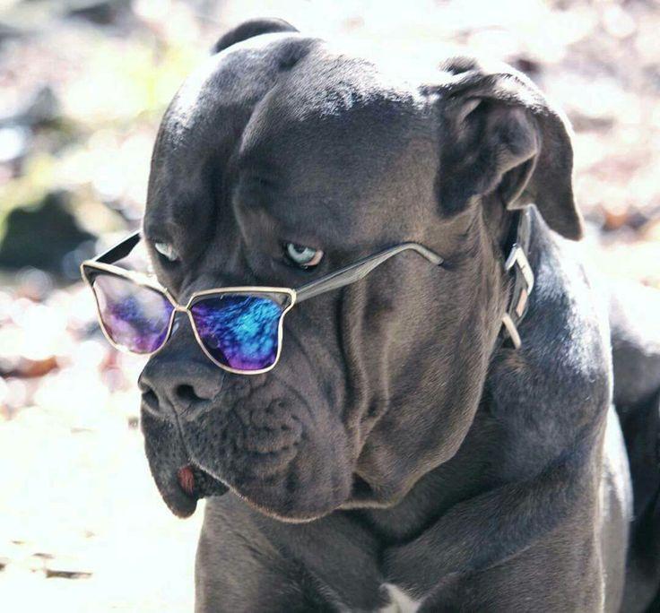 1055 Best Images About Cane Corso Rottweiler Doberman Pincher Presa Canario Great Dane ️ On