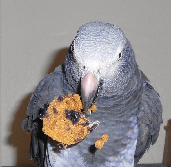 Tons of recipes for parrots including blueberry cookies