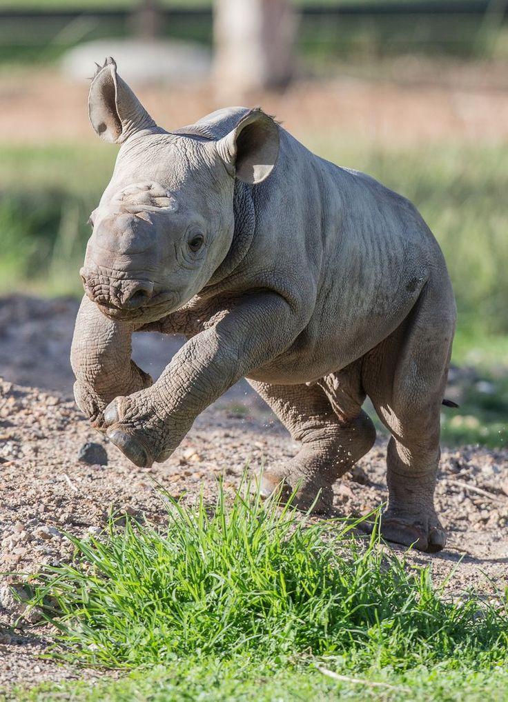 Boisterous Black Rhino Baby Makes Debut