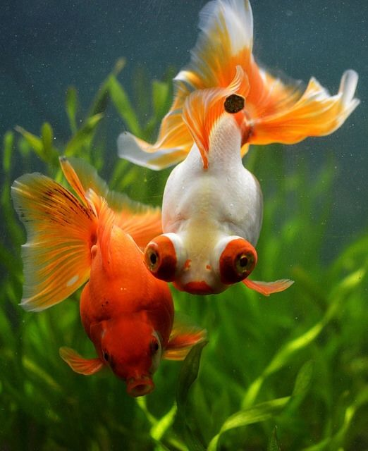 goldfish                                                                                                                                                                                 More