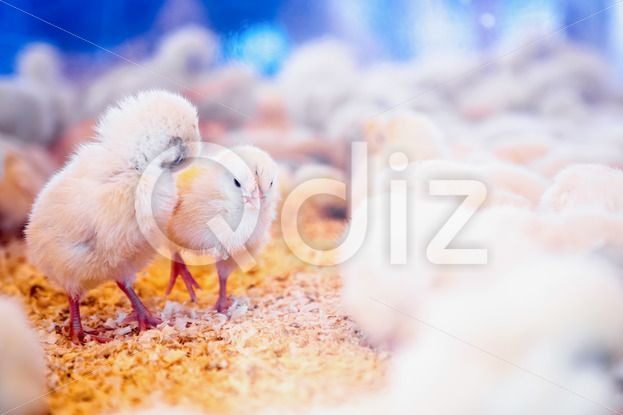 Qdiz Stock Photos | Small chickens in farm incubator or coop,  #animal #bird #chicken #coop #country #countryside #farm #farmland #hen #incubator #industry #livestock #poultry #ranch #side #small