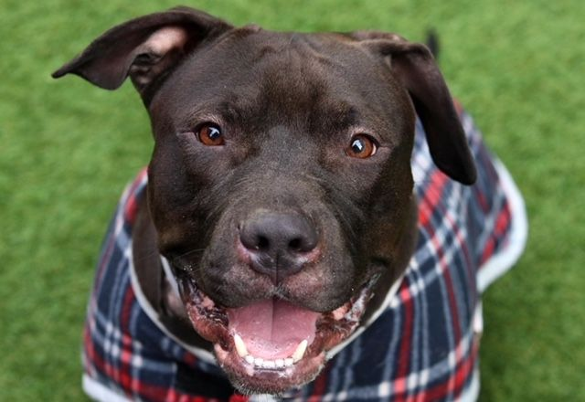 BUNZ - 18979 - - Manhattan  TO BE DESTROYED 02/07/18: A volunteer writes:3 year-old Manhattan ACC resident Bunz is nothing but smiles this Monday. So really, what's your excuse? You don't have to be Sir Mix-a-lot to appreciate this special stunner. This lovable chocolate walrus is bursting with life, wiggles, and wags, and bound to make anyone loose hold of their heart. Note: there's no itty-bitty waist here. Bunz is a bodacious boy at roughly 75 pounds, a