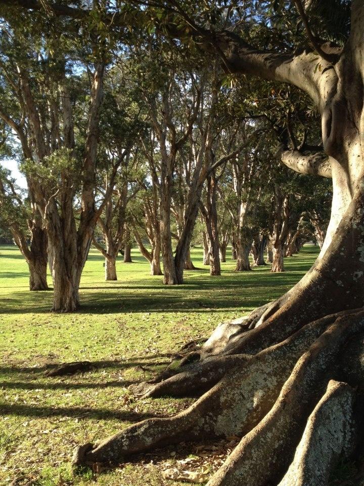 Paperbark Grove, Centennial Park, Sydney (photo by Craig Easdown).