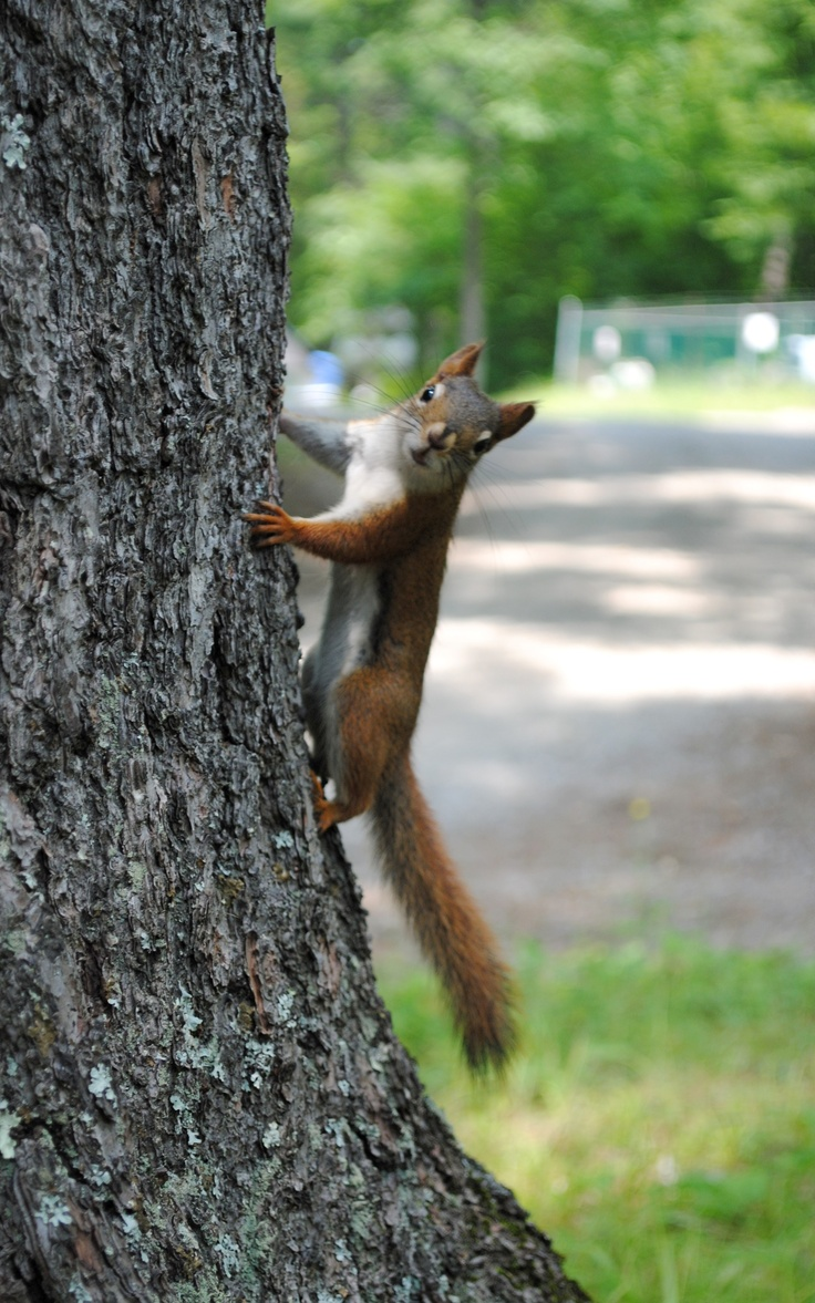 Sneaky little red squirrel #Canada