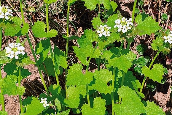 Løgkarse både smager og lugter af løg, men har også karsens styrke. De unge blade kan bruges som krydderi i f.eks. urtesmør, salat eller sup...