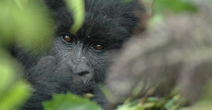 Mountain Gorilla, Volcanoes National Park | Gorilla Photo Safari | Photo Tours | Natural Habitat Adventures