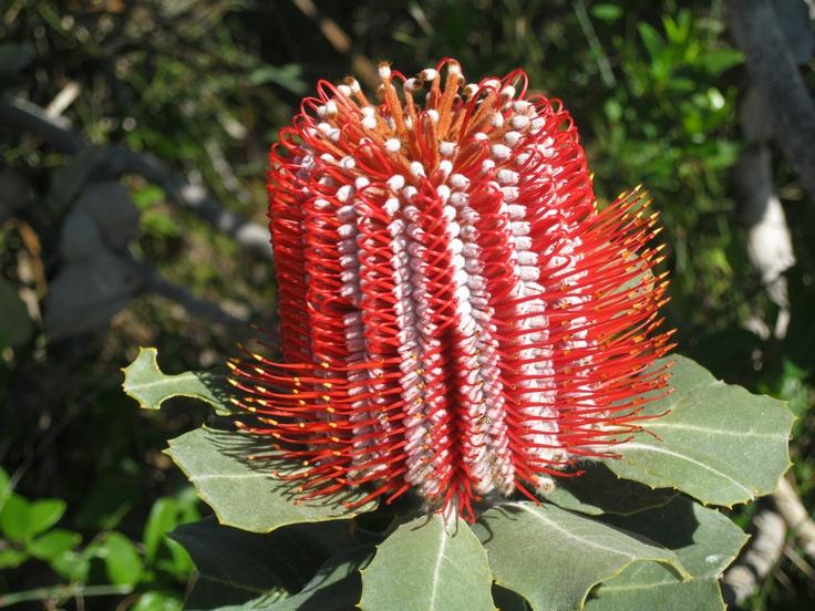 Scarlett Banksia; Bremer Bay, West Australia.