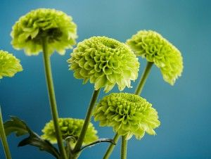 Green chrysanthemum wedding bouquets | The Wedding Specialists