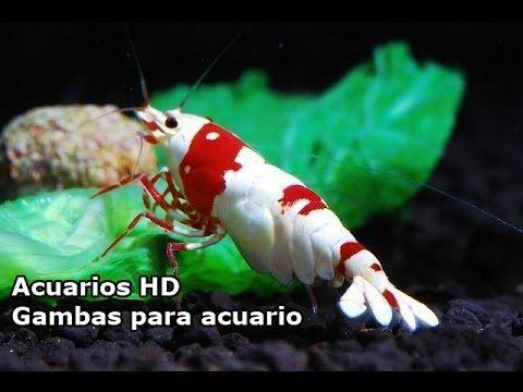 ACUARIOS HD : GAMBAS PARA ACUARIOS ( CARIDINAS Y NEOCARIDINAS ) - YouTube