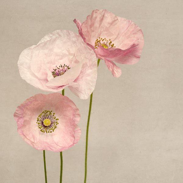 "Poppy Art, Fine Art Flower Photography Print ""Pink Poppies No. 5"" from Rocky Top Studio"