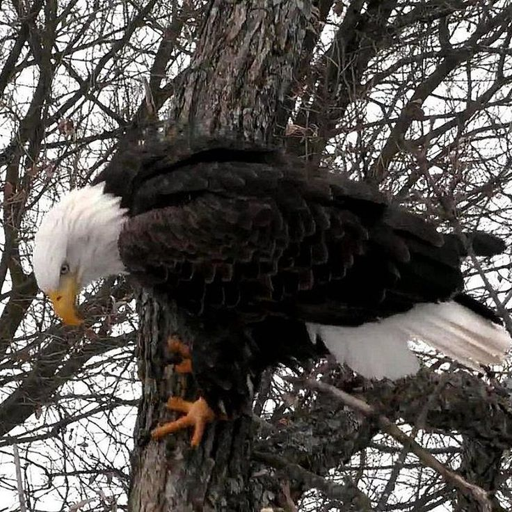 Our live cam snapshot of the day is by our camera operator CamOp Eagle Wind. Great photo from the #DecorahNorth cam! - Courtney | explore.org/eagles