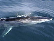FIN WHALE....an endangered marine mammal that is found throughout oceans worldwide....measures up to 79 feet long....the second largest whale and animal in the world