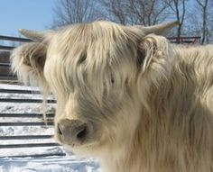 This silver heifer calf, is Daisy Mae, with her  beautiful alabaster white coat ༺✿༺