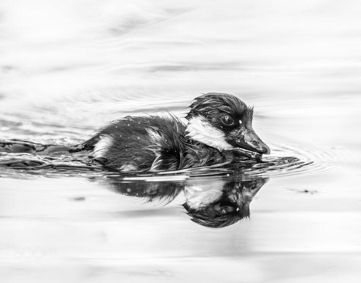 b&w wet swimming goldeneye duckling - see title