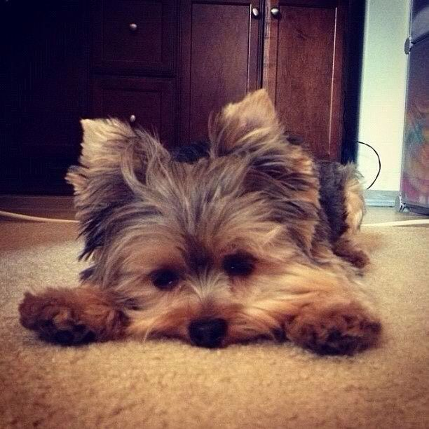 there is also a very good chance that the next time i have a dog it'll be a yorkie. if i ever have one.