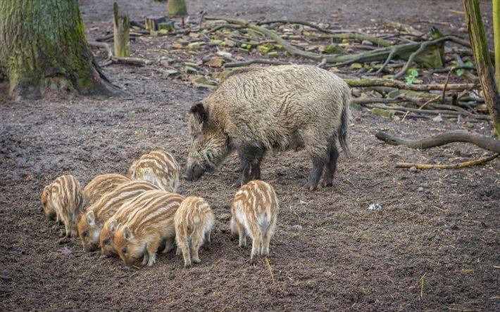 Lataa kuva Villisikoja, villisikoja, siat, wildlife, metsä