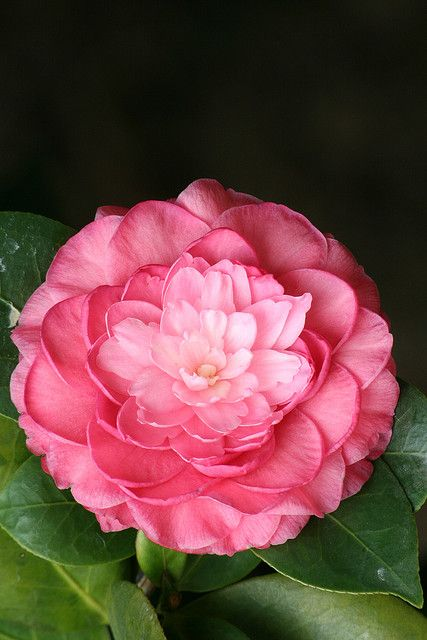 1000+ images about Camellias on Pinterest | Gardens ...