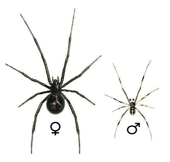 guide plate for the southern black widow latrodectus mactansthe adult female black widow spider has a glossy jet black color all over including