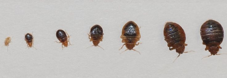 408 Best Images About Bed Bugs On Pinterest Mice Control
