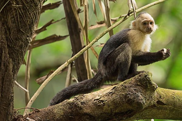 Title:  White-faced Capuchin Monkey In Costa Rica 2   Artist:  Natural Focal Point Photography   Medium:  Photograph